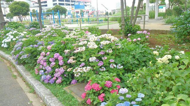 紫陽花とライブ